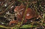 Microhyla heymonsi mating Eduard Galoyan