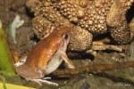 Ornate Narrowmouth Frog Microhyla ornata