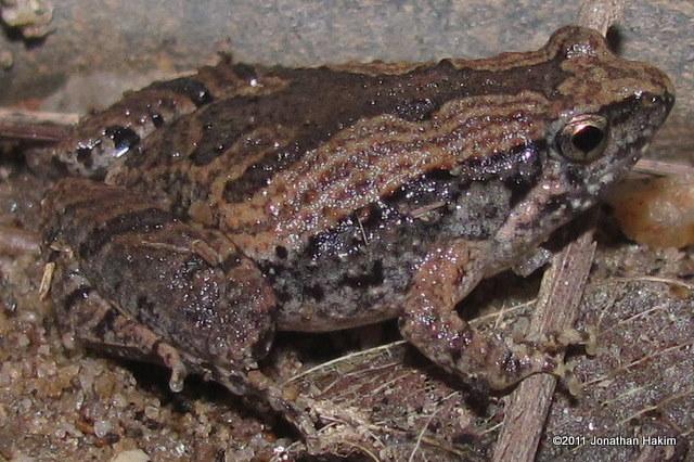 Ornate Narrowmouth Frog MIcrohyla fissipes