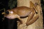 Common Treefrog Polypedates leucomystax