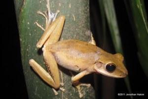 Four-lined Treefrog Polypedates leucomystax