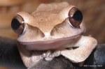 Brown Treefrog Polypedates megacephalus