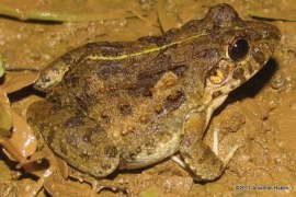 Asian Grass Frog Fejervarya limnocharis