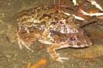 Asian Grass Frog Fejervarya limnocharis mating