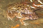 Asian Grass Frog Fejervarya limnocharis mating