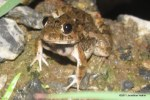 Cricket Frog Fejervarya limnocharis calling