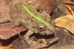 Paddy Frog Fejervarya limnocharis