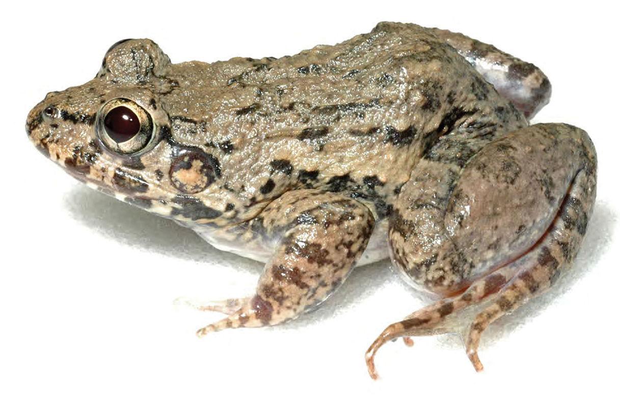 brackish frog gulf coast moodie's crab-eating fejervarya moodiei philippines