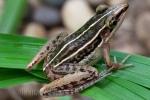 Long-toed Slender Frog Hylarana macrodactyla