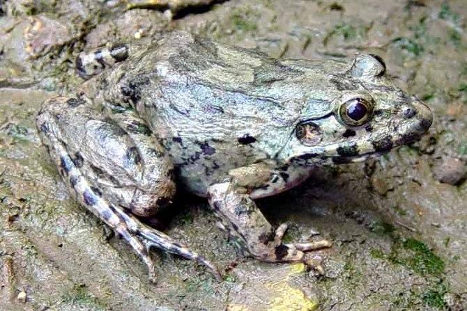 brackish frog gulf coast crab-eating fejervarya moodiei china wang lijun