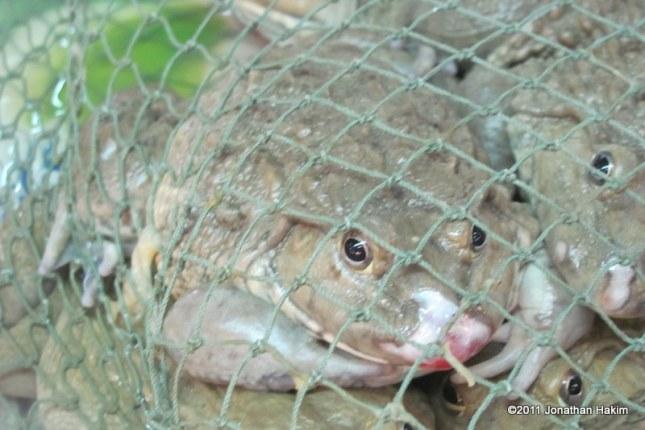 Taiwanese Frog Rana rugulosus