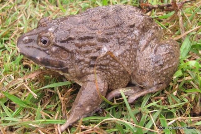 Chinese Edible Frog Hoplobatrachus rugulosus