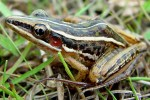 Three-striped Grass Frog Hylarana macrodactyla