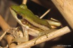 Common Greenback Frog Hylarana erythraea