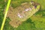 Chinese Edible Frog American Bullfrog Hoplobatrachus rugulosus Lithobates catesbeianus
