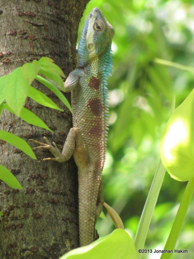 Blue-crested Lizard Calotes mystaceus breeding colors