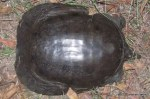 Chinese Soft-shelled Turtle Pelodiscus sinensis injury