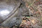 Chinese Softshell Turtle Pelodiscus sinensis injury
