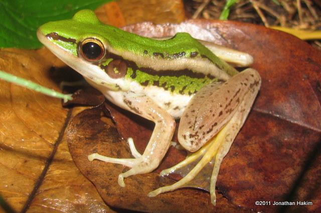 Green Paddy Frog Hylarana erythraea