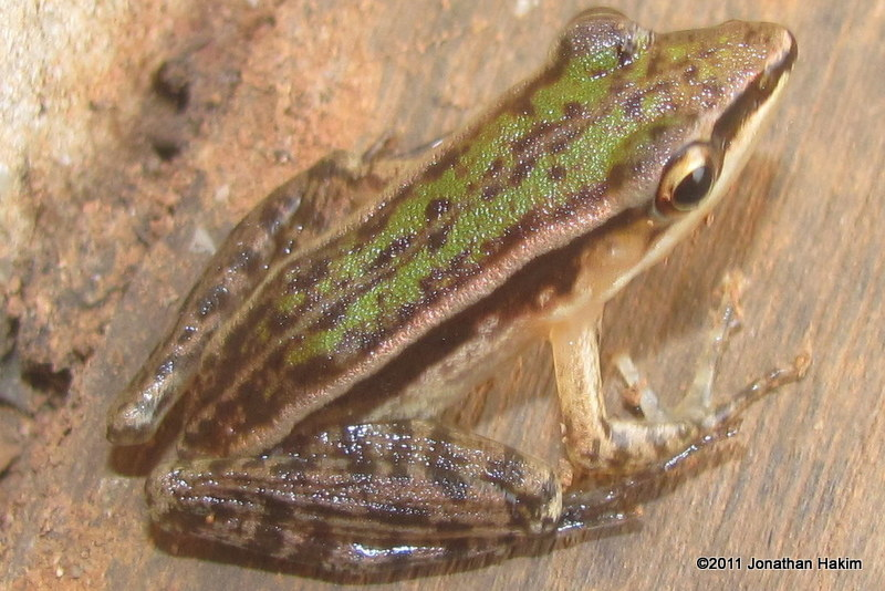 Three-striped Grass Frog Hylarana macrodactyla