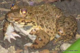 Taiwanese Frog Hoplobatrachus rugulosus