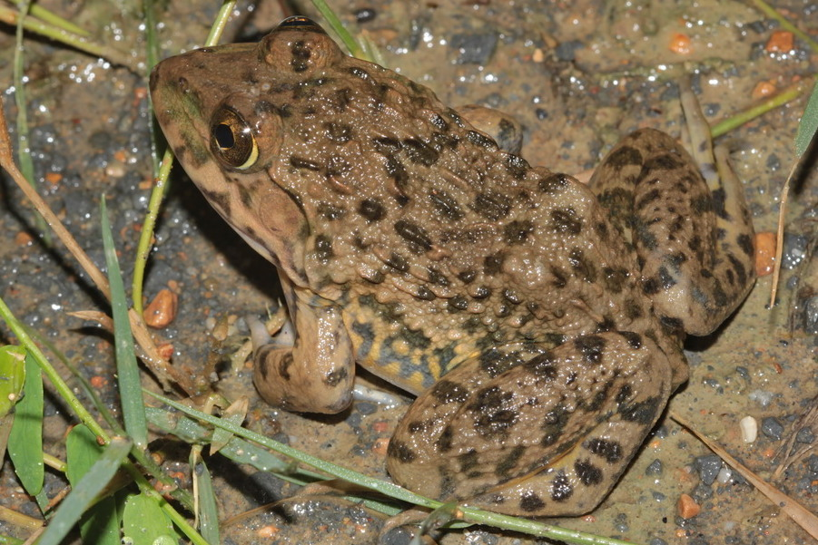 brackish frog gulf coast moodie's crab-eating fejervarya moodiei khao sam roi yot national park thailand