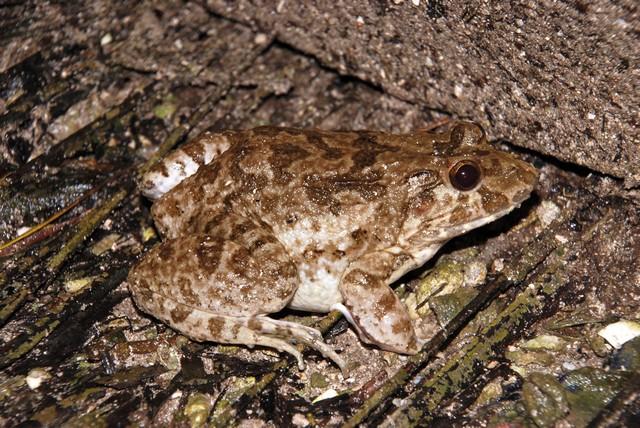 Vaclav Gvozdik Brackish Frog fejervarya moodiei andaman islands