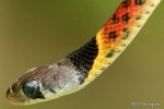 Red-necked Keelback Rhabdophis subminiatus head shot
