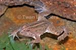 Green Puddle Frog Occidozyga lima floating