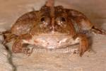 Pointed-tongued Floating Frog Occidozyga lima