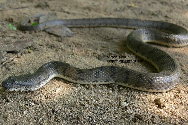 Dog-faced Water Snake Cerberus schneiderii rynchops