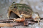 Pointed-tongued Floating Frog Occidozyga lima