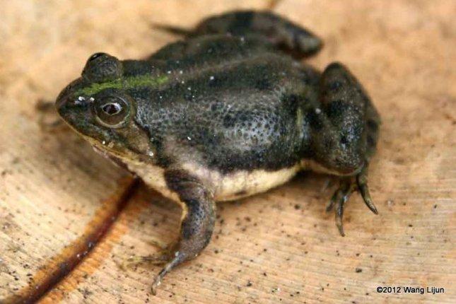 Green Puddle Frog Occidozyga lima