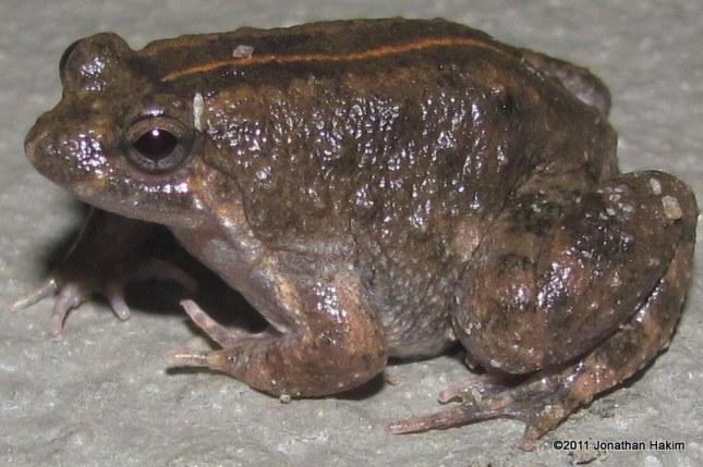 Round-tongued Floating Frog Occidozyga martensii
