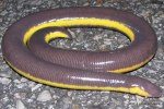 Yellow-striped Caecilian Ichthyophis kohtaoensis
