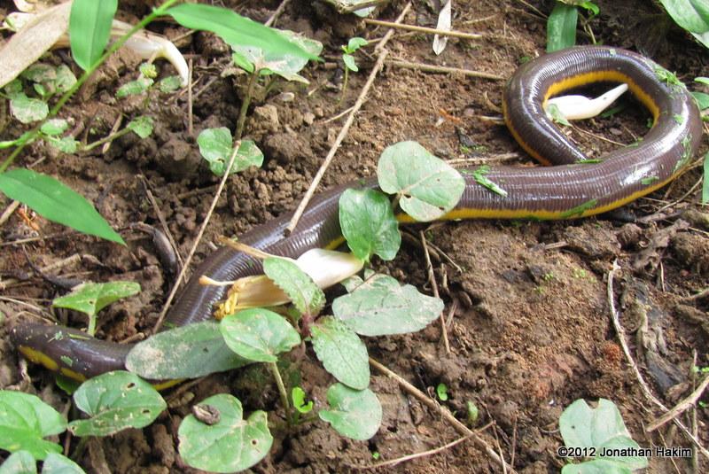 Koh Tao Caecilian Ichthyophis kohtaoensis