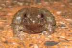 Round-tongued Floating Frog Occidozyga martensii
