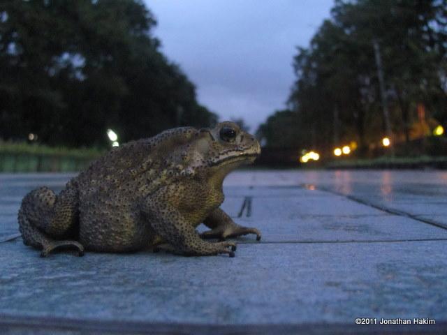 Common Indian Toad Bufo melanostictus