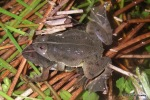 Pointed-tongued Floating Frog Occidozyga lima mating