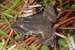 Pointed-tongued Floating Frog Occidozyga lima mating