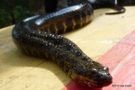 Tay Minh Water Snake Enhydris innominata