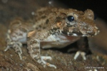 Mangrove Frog Fejervarya cancrivora