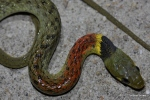 Red-necked Keelback Rhabdophis subminiatus neck shot