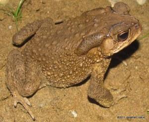 Common Indian Toad Duttaphrynus melanostictus