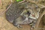 Black-spined Toad Duttaphrynus melanostictus