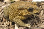 Asian Toad Bufo melanostictus