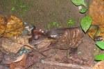 Green Keelback Rhabdophis nigrocinctus