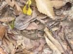 Green Keelback Rhabdophis nigrocinctus juvenile