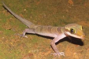 Cardamon Slender-toed Gecko Cyrtodactylus intermedius