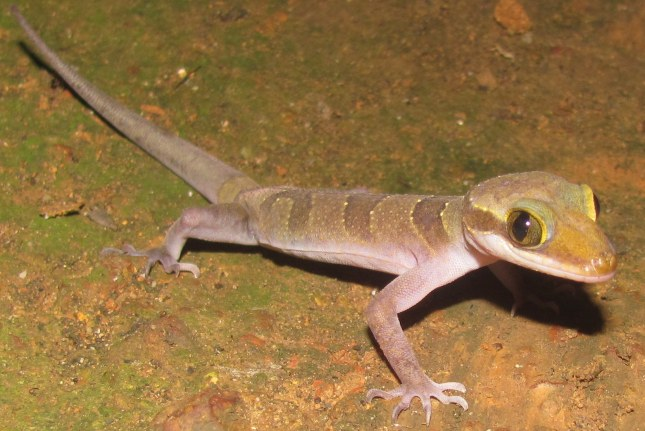 Intermediate Bow-fingered Gecko Cyrtodactylus intermedius